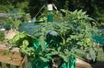 Inverted Tomato Planter Made by Topsy Turvy after two weeks