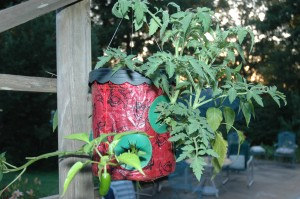 Jalapena Pepper Plant in a Topsy Turvy Planter after Three Weeks